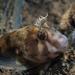 Parablennius tasmanianus - Photo (c) Christopher Mark, algunos derechos reservados (CC BY-NC)