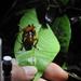Stenopelmatopterus - Photo (c) erjanes93, algunos derechos reservados (CC BY-NC)