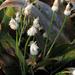 Carex fraseriana - Photo (c) BlueRidgeKitties, osa oikeuksista pidätetään (CC BY-NC-SA)