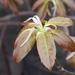 Ficus subpisocarpa - Photo (c) sunnetchan, algunos derechos reservados (CC BY-NC-SA)