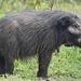 Cerdo de la Selva - Photo (c) Pascal Bacuez, algunos derechos reservados (CC BY-NC)