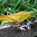 Prionolopha serrata - Photo (c) Anderson Silva, μερικά δικαιώματα διατηρούνται (CC BY-NC)