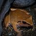 Ceratobatrachidae - Photo (c) Gerson Kim Penetrante, algunos derechos reservados (CC BY-NC)