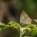 Curetis acuta - Photo (c) Rejoice Gassah, algunos derechos reservados (CC BY)