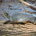 Eastern River Cooter - Photo (c) cwwood, some rights reserved (CC BY-SA)
