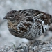 Ruffed Grouse - Photo (c) sallen, some rights reserved (CC BY-NC), uploaded by sallen