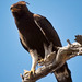 Long-crested Eagle - Photo (c) Arno Meintjes, some rights reserved (CC BY-NC)