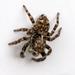 Pseudeuophrys erratica - Photo (c) Bill Keim, μερικά δικαιώματα διατηρούνται (CC BY)