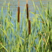 Bulrushes, Cattails, and Allies - Photo (c) Serge M. Appolonov, some rights reserved (CC BY-NC)