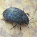 Byrrhidae - Photo (c) Roman Providukhin, algunos derechos reservados (CC BY-NC)