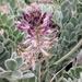 Astragalus mollissimus - Photo (c) Alison Northup, osa oikeuksista pidätetään (CC BY)