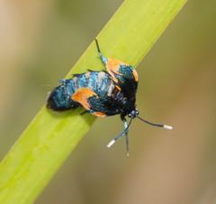 Australian Bag Moth