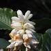 Alpinia uraiensis - Photo (c) 葉子, alguns direitos reservados (CC BY-NC-ND)