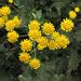 Tanacetum achilleifolium - Photo (c) Sergey Mayorov, algunos derechos reservados (CC BY-NC)