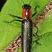 Acropteroxys gracilis - Photo (c) Judy Gallagher, algunos derechos reservados (CC BY)