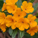 Hoary Puccoon - Photo (c) Patrick Coin, some rights reserved (CC BY-NC-SA)