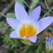 Romulea clusiana - Photo (c) Pablo de la Fuente Brun, some rights reserved (CC BY-NC)