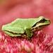 Rana-de Coro del Pacífico - Photo (c) Minette Layne, algunos derechos reservados (CC BY-SA)