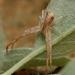 Sidymella longipes - Photo (c) Paul George, algunos derechos reservados (CC BY-NC-SA)