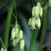 Polygonatum biflorum commutatum - Photo (c) BlueRidgeKitties, algunos derechos reservados (CC BY-NC-SA)