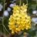 Lluvia de Oro Asiática - Photo (c) Robin Gwen Agarwal, algunos derechos reservados (CC BY-NC)
