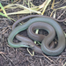 Western Yellow-bellied Racer - Photo (c) ashley_w, some rights reserved (CC BY)