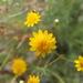Thymophylla pentachaeta - Photo (c) Tony Palmer, alguns direitos reservados (CC BY-NC)