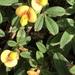 Stylosanthes hamata - Photo (c) Susan J. Hewitt, algunos derechos reservados (CC BY-NC)