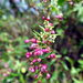 Muehlenbeckia sagittifolia - Photo (c) Horacio Sirolli, some rights reserved (CC BY-NC)