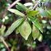 Terminalia australis - Photo (c) Horacio Sirolli, some rights reserved (CC BY-NC)