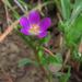 Calandrinia ciliata - Photo (c) Josh*m,  זכויות יוצרים חלקיות (CC BY-NC-SA)