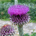 Illyrian Thistle - Photo (c) Du-Sa-Ni-Ma, some rights reserved (CC BY-NC)