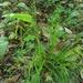 Carex oxylepis - Photo (c) Matthew Herron,  זכויות יוצרים חלקיות (CC BY-NC)