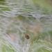 Petrobia harti - Photo (c) Alison Northup, alguns direitos reservados (CC BY)