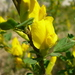 Chamaecytisus ruthenicus - Photo (c) Serge M. Appolonov, some rights reserved (CC BY-NC)