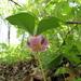 Trillium catesbaei - Photo (c) Kid Cowboy, algunos derechos reservados (CC BY-SA)