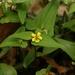 Viola hastata - Photo (c) dogtooth77, algunos derechos reservados (CC BY-NC-SA)