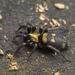 Callilepis nocturna - Photo (c) Roman Providukhin, μερικά δικαιώματα διατηρούνται (CC BY-NC)