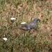 Diuca diuca diuca - Photo (c) orlandomontes, algunos derechos reservados (CC BY-NC)