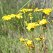 Senecio californicus - Photo (c) Diane Etchison, μερικά δικαιώματα διατηρούνται (CC BY-NC)
