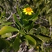 Borrichia arborescens - Photo (c) Helen A. Czech, osa oikeuksista pidätetään (CC BY-NC)
