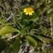 Borrichia arborescens - Photo (c) Helen A. Czech,  זכויות יוצרים חלקיות (CC BY-NC)
