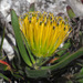 Leucospermum gracile - Photo (c) Felix Riegel, algunos derechos reservados (CC BY-NC)