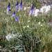 Phyteuma betonicifolium - Photo (c) Gilles Péris y Saborit, algunos derechos reservados (CC BY-NC)