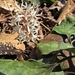 Pachysandra - Photo (c) Lori Owenby, μερικά δικαιώματα διατηρούνται (CC BY-NC)