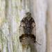 Cixius cunicularius - Photo (c) Roman Providukhin, algunos derechos reservados (CC BY-NC)