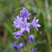 Hyacinthoides paivae - Photo (c) Carlos Pizcueta Suárez, some rights reserved (CC BY-NC)