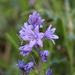 Hyacinthoides paivae - Photo (c) Carlos Pizcueta Suárez, algunos derechos reservados (CC BY-NC)