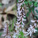 Vicia caroliniana - Photo (c) Joshua Mayer, algunos derechos reservados (CC BY-SA)