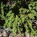 Vaccinium confertum - Photo (c) Idlegrraphics, alguns direitos reservados (CC BY-NC-SA)